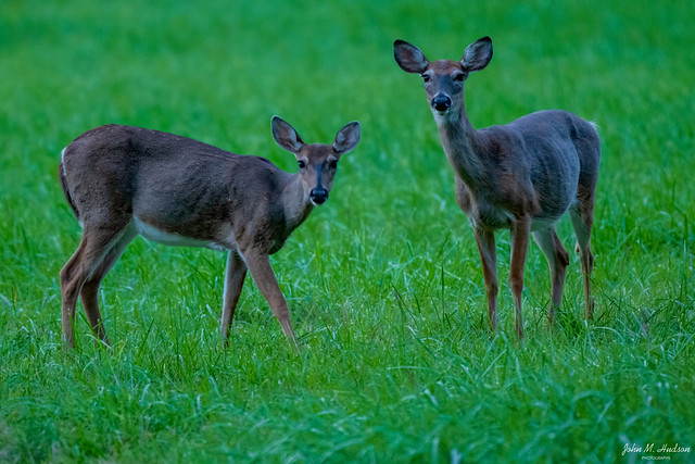 2020.09.23.3263.D850 White-Tail Does in Twilight