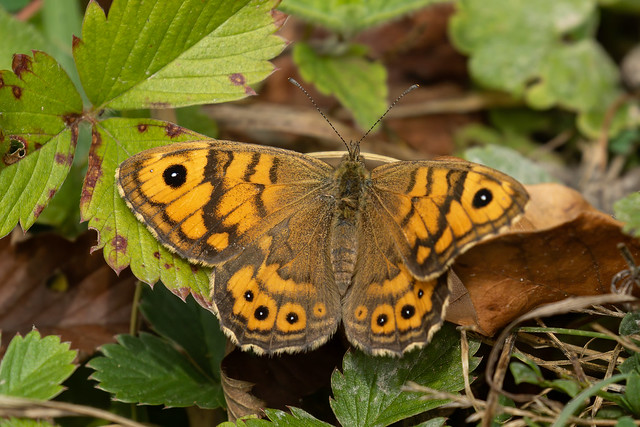 Wall Brown Butterfly.