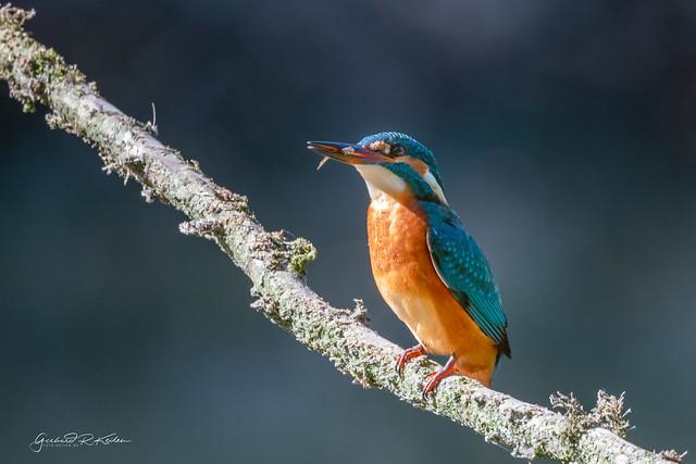 Kingfisher with mini fish!