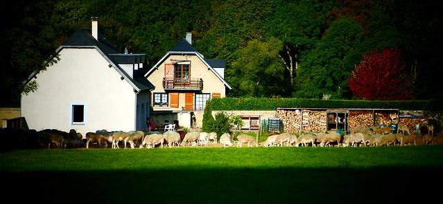 Campan (Hautes-Pyrénées, Occitanie, Fr) – Le troupeau au repos