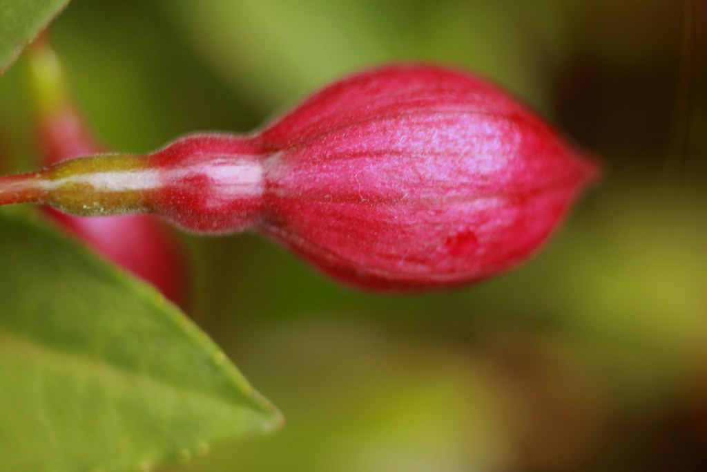 Fuchsia bud (macro)