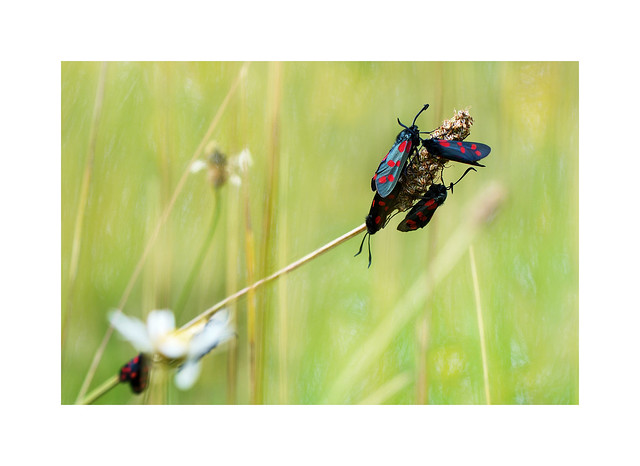 Six Spot Burnet Moths..
