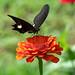 Papilio helenus stopping at Zinnia
