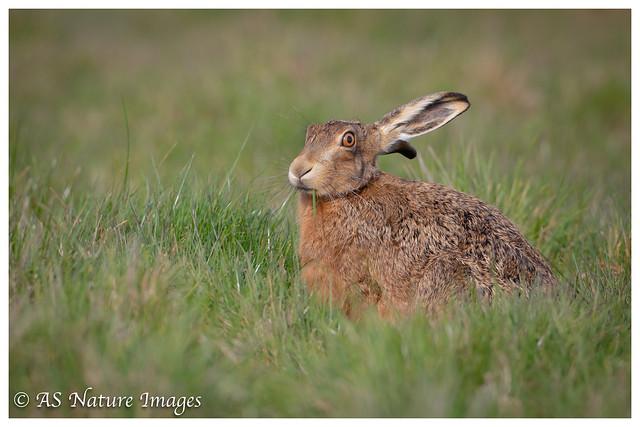 Brown Hare Feeding