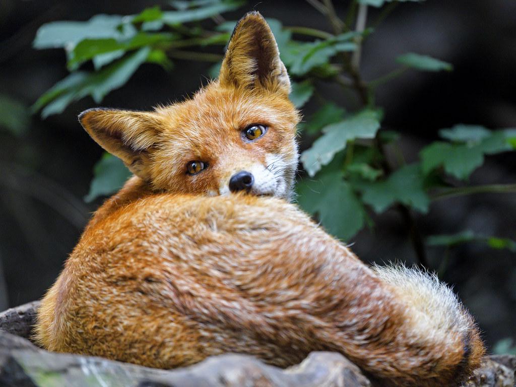 Fox looking back