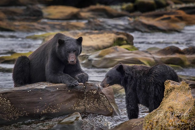 Vancouver Island Black Bear - Ursus americanus vancouveri Northern Vancouver Island, BC