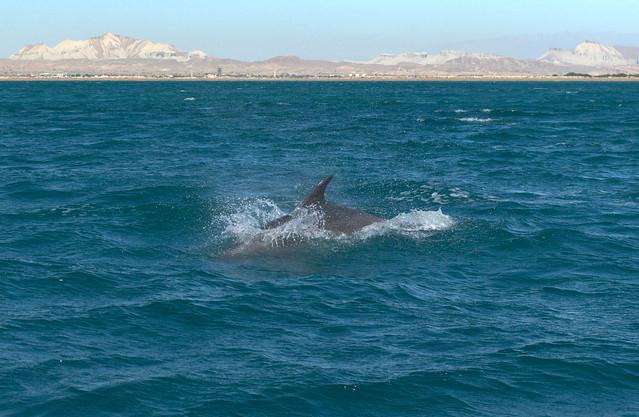 Dolphin in the Strait of Hormuz, Iran