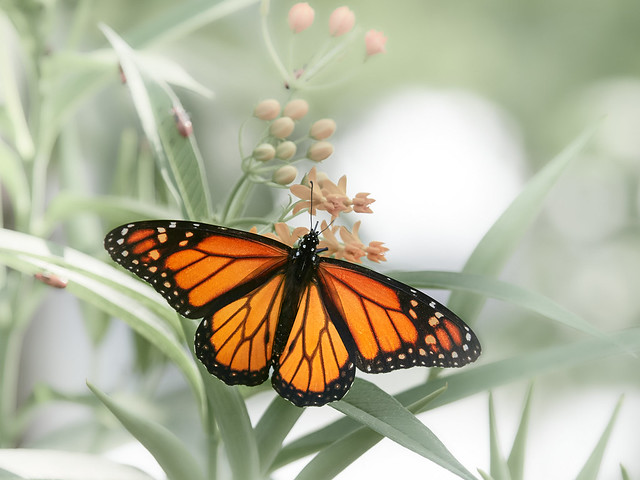 Dreamy Monarch - EMD40319 3