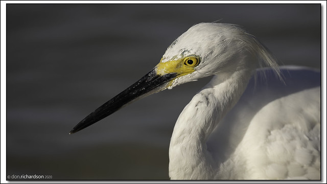 Snowy Egret looking the worse for wear