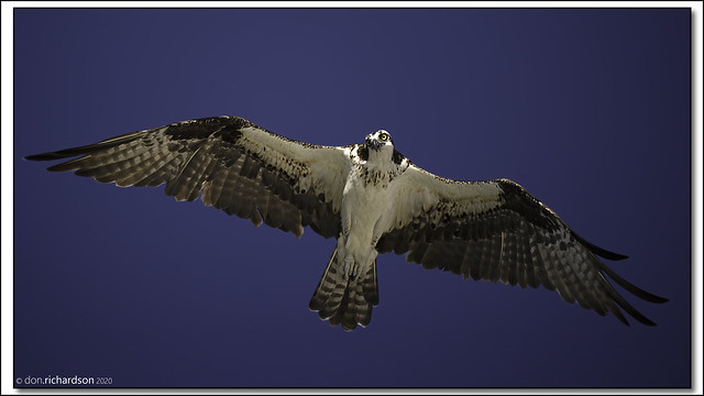 Osprey on the hunt over the Gulf