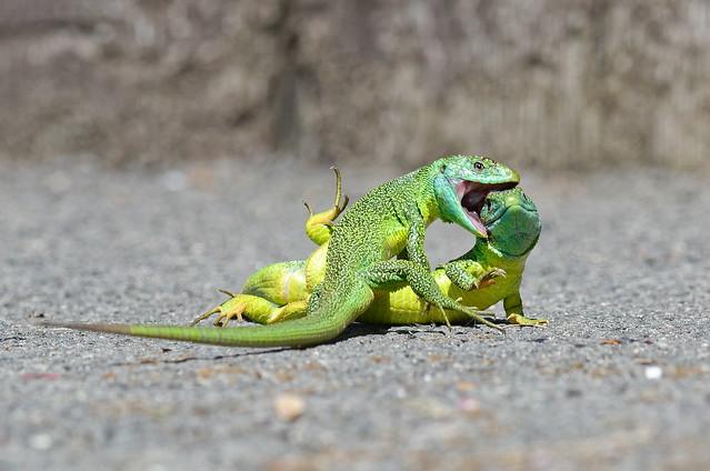Combat de 2 mâles de lézards vert
