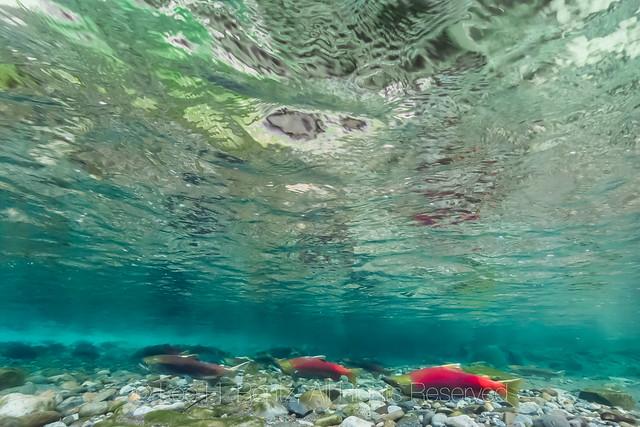 Sockeye Salmon Spawning in the Cle Elum River