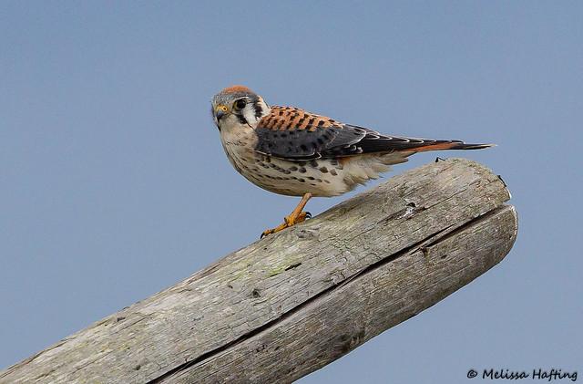 Male American Kestrel (Falco sparverius) - Delta, BC