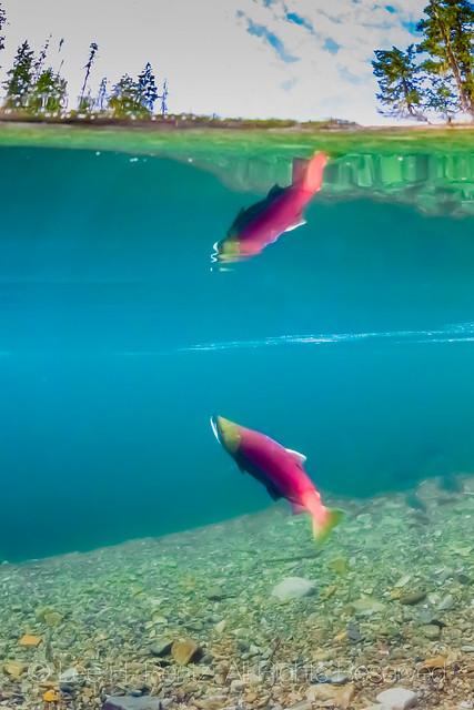Sockeye Salmon Spawning in the Cooper River