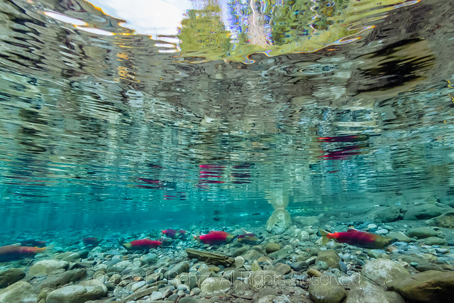 Sockeye Salmon Spawning in the Cle Elum River