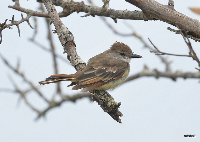 Ash-throated Flycatcher in heavy molt at Brunswick Point, Ladner BC