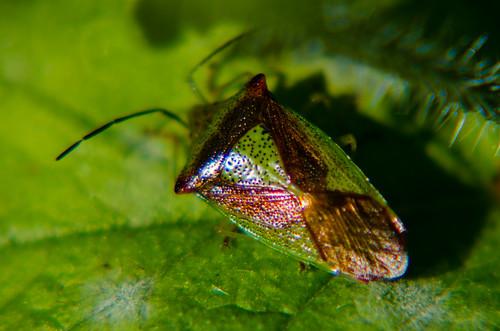 Hawthorn shield bug on alkanet leaf