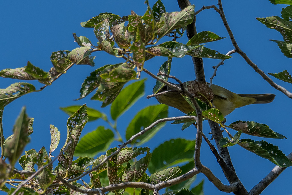 Palm Warbler (2 of 3)
