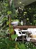 Prachtwinden am Draht. Wir hatte überall Blumenerde vom Hagebaumarkt verteilt, sie enthielt ewig gammelige Holzstückchen und Plastikteile.