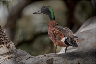 Chestnut Teal (m): Is this My Best Side | by birdsaspoetry