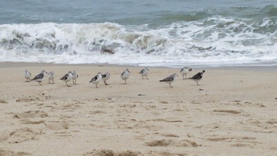 Sand Pipers at the Shore