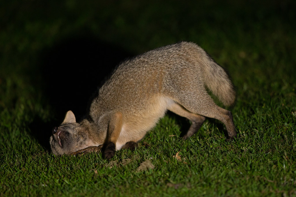 Crab-eating Fox - Cerdocyon thous