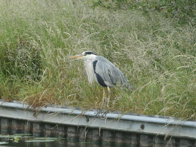 Bird - Heron 200614 Lancaster Canal 1