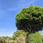 Big topiary on Sharoe Green Lane