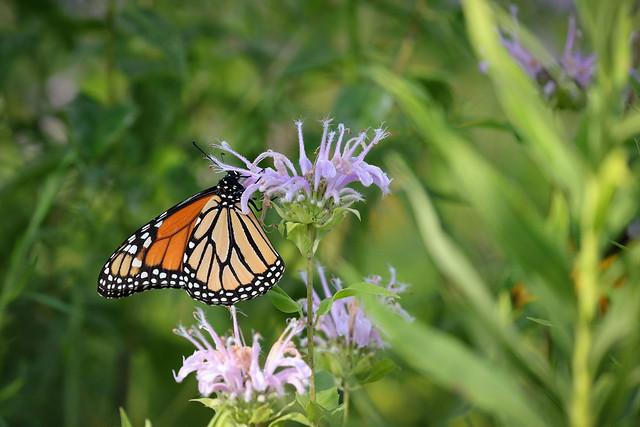 Monarch on Wild Bergamot