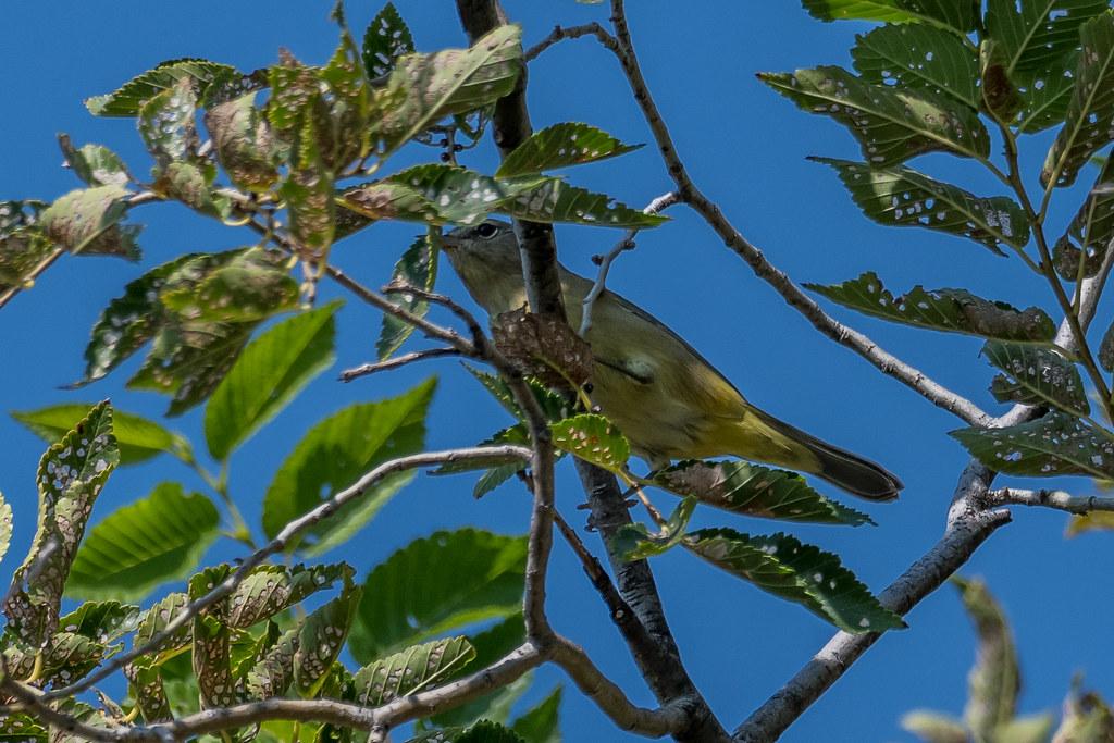 Palm Warbler (1 of 3)