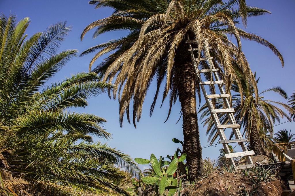 Escalera apoyada sobre una palmera en La Gomera