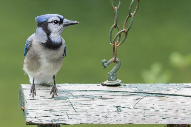 Geai bleu - Blue Jay, Beauce, PQ, Canada - 8944