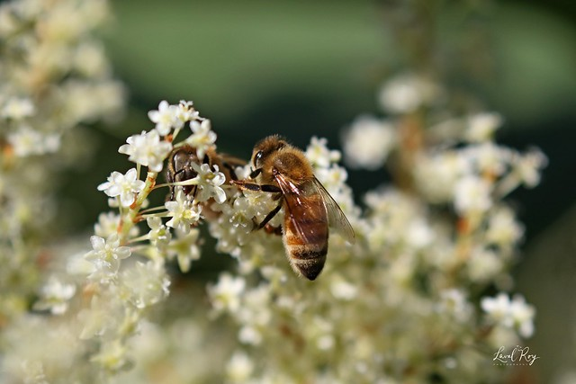 Apis mellifera / Abeille domestique (ouvrière) / european honey bee (worker)