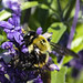 Worker bee getting some nectar for the Queen from our salvia plants