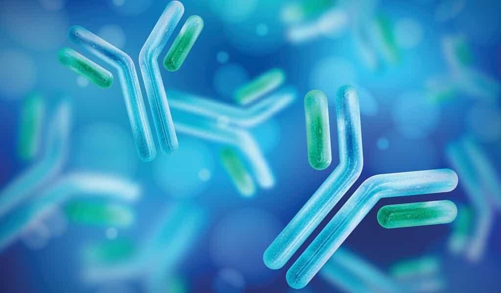 Des cocktails d'anticorps ultra-puissants bloquent le COVID-19