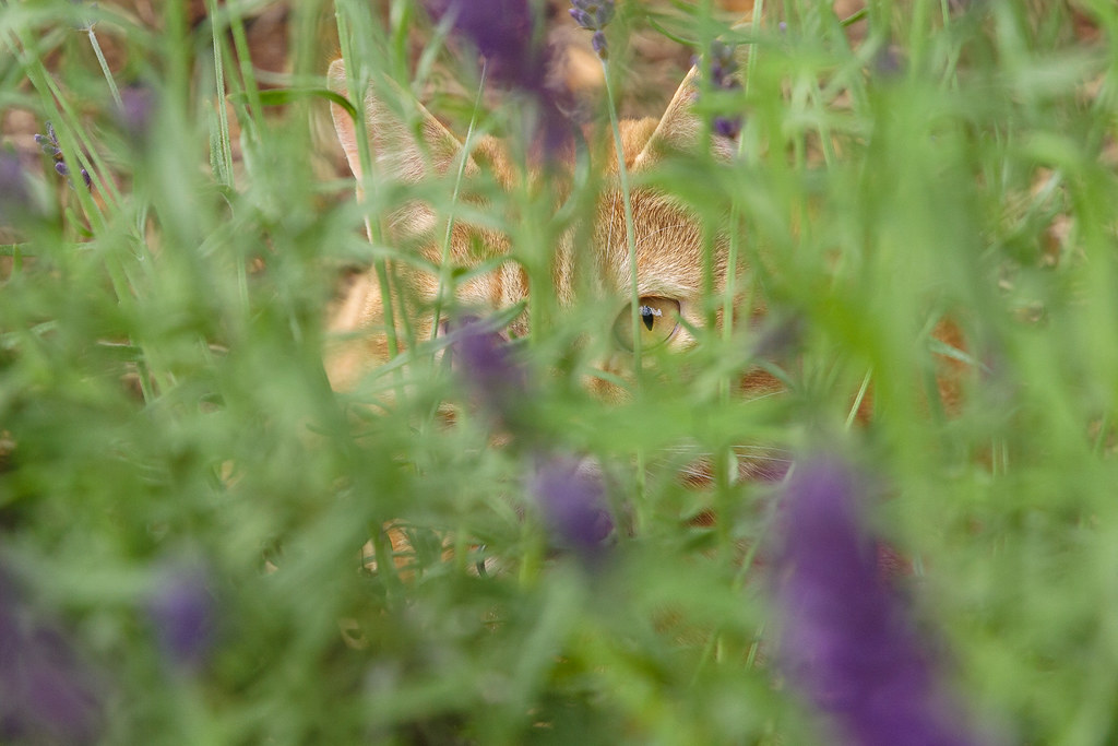 Our cat Sam hiding in the lavender on June 23, 2009. Original: _MG_5117.cr2