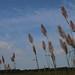grasses 3 (1 of 1)b