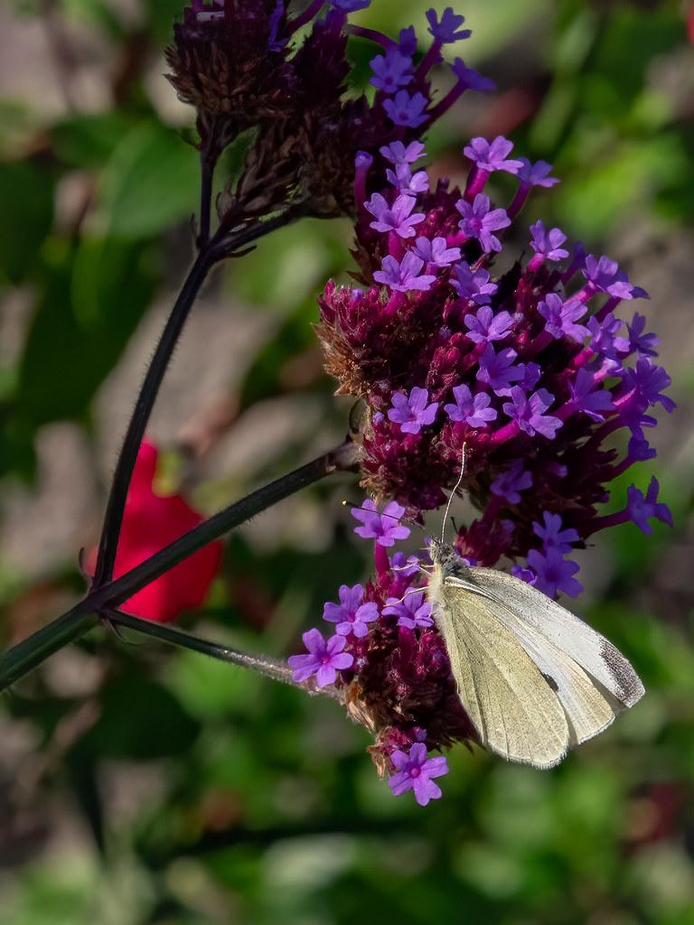 Dans in jardin breton suite... 50383171622_4a5429fb40_b