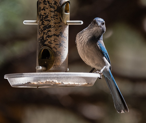 scrub_jay_on_feeder-20200925-100 | by Dagny Gromer