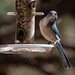 scrub_jay_on_feeder-20200925-100