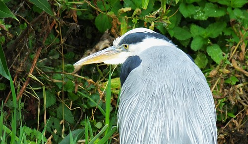 Heron on the Water of Leith 03