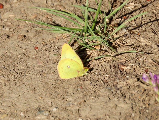 Day 2 -  Kindersley SK to Melfort Sk - A Cloudless  Sulphur? at the Motherwell Reservoir