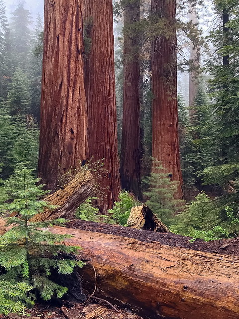 Giant Sequoia Generations:  the fallen, the mighty, and the young