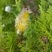 lesser_goldfinch_in_tree-20200925-101