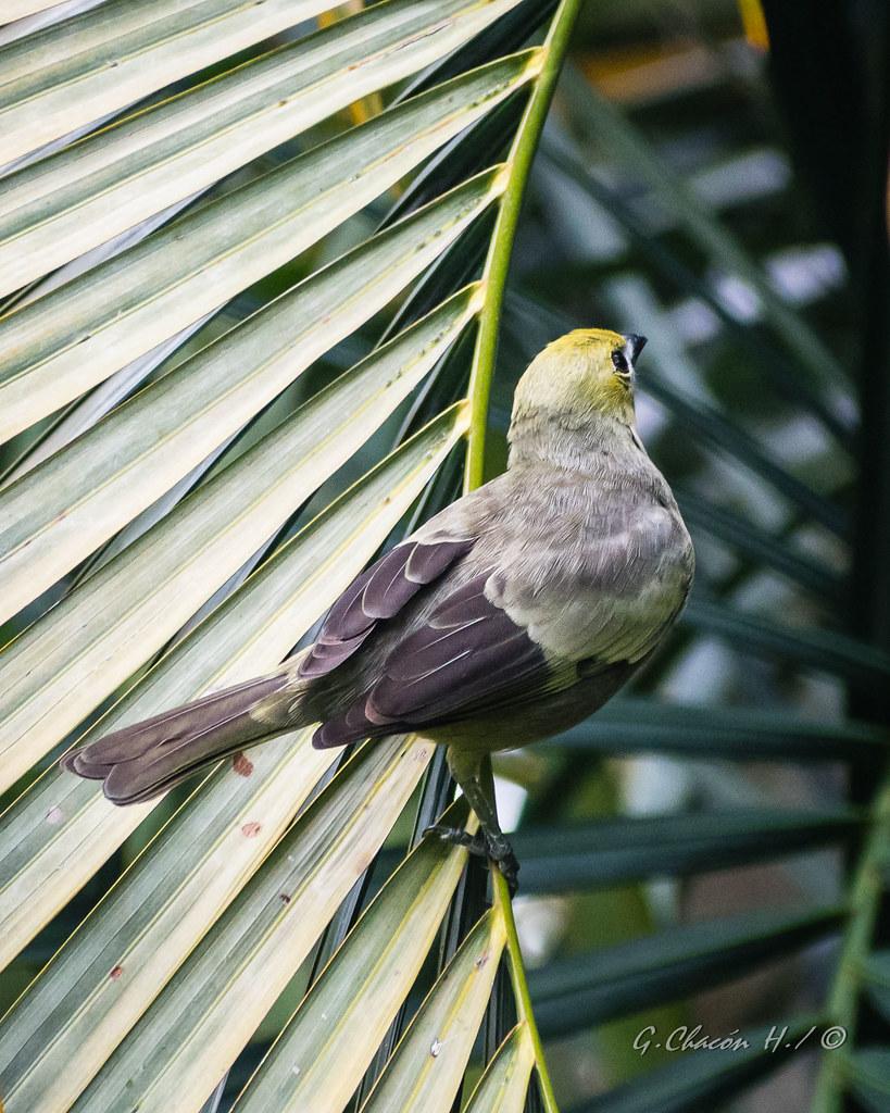 Azulejo palmero, Palm Tanager, Thraupis palmarum