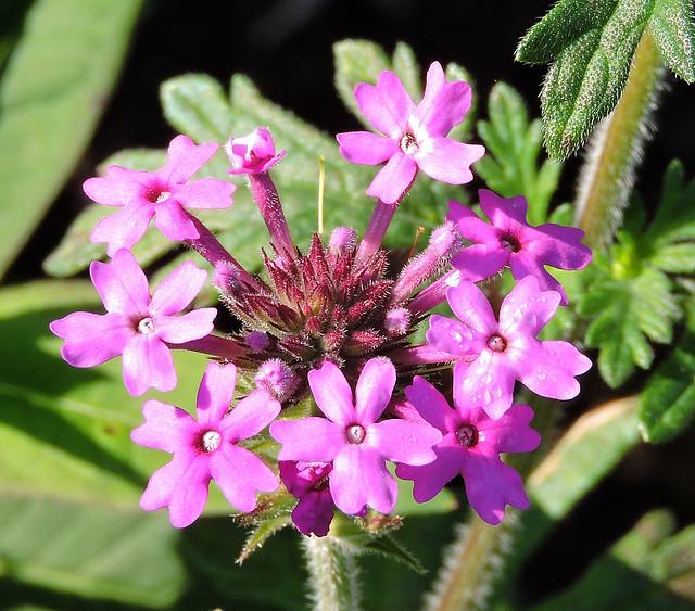 2020-09-22 Verbena bipinnatifida - BG Teplice
