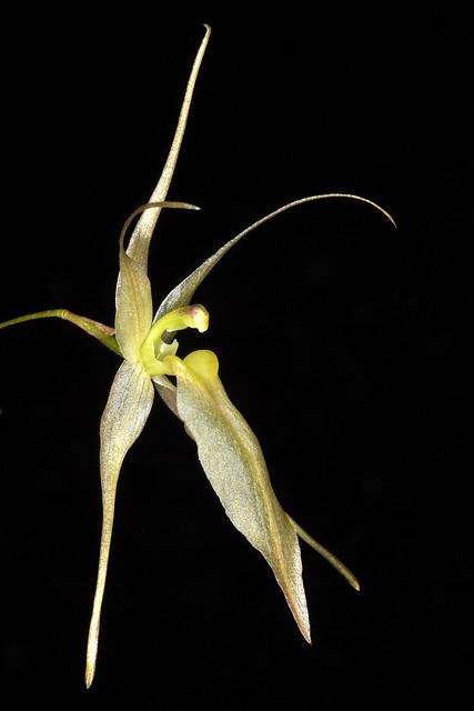Homalopetalum pumilio - Marni Turkel/Mostly Species Flasks