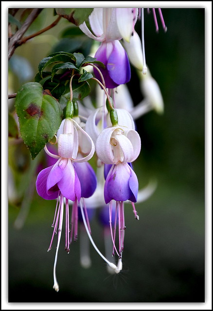 Flower Of The Day - Fuchsia