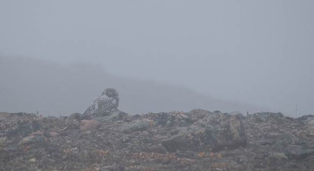 Bubo in the mist