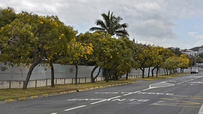 CARIBEAN TRUMPET TREE ou TABEBUIA